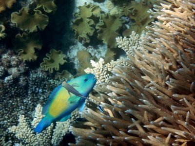 Parrot_Fish6.jpg