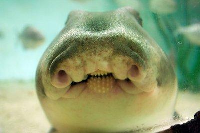 Port_Jackson_Shark_mouth.jpg