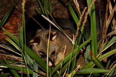 Possum_bush.jpg