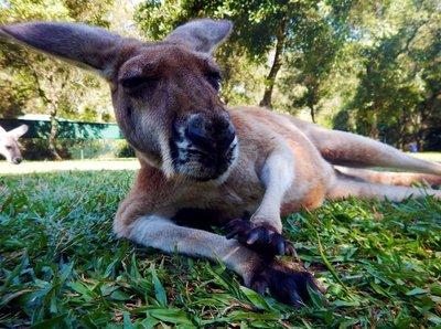 Red_Kangaroo1.jpg