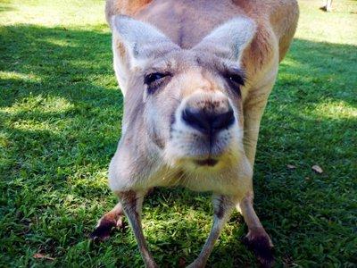 Red_Kangaroo3.jpg