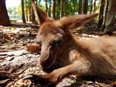 Red_Kangaroo_Joey.jpg