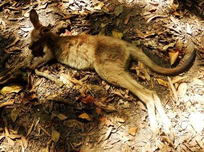 Red_Kangaroo_Joey2.jpg