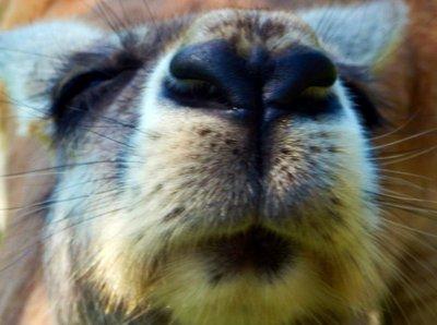 Red_Kangaroo_nose.jpg
