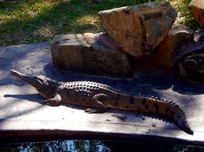 Rockhampto..r_Crocodile.jpg
