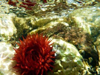 Sea_anemone_surface.jpg