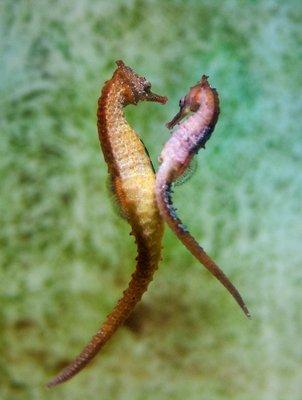 Slender_Seahorses_pair.jpg