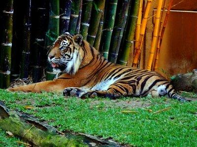 Sumartran_Tiger.jpg