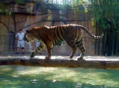 Sumartran_Tiger1.jpg