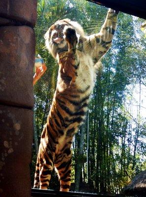 Sumartran_Tiger2.jpg