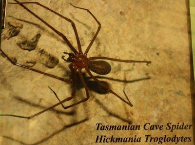 Tasmanian_Cave_Spider.jpg