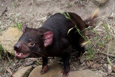 Tasmanian_Devil3__Medium_.jpg