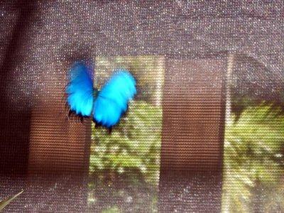 Ulysses_Butterfly5.jpg