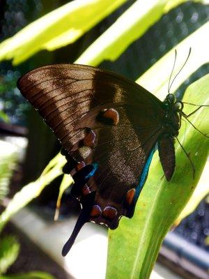 Ulysses_Butterfly7.jpg