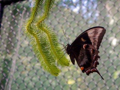 Ulysses_Butterfly9.jpg