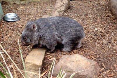 Wombat1__Medium_.jpg
