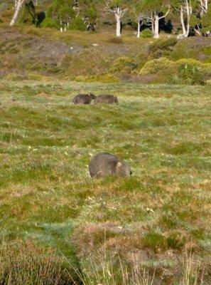 Wombats_x3.jpg
