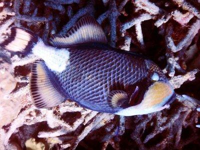 blue_finned_trigger_fish2.jpg