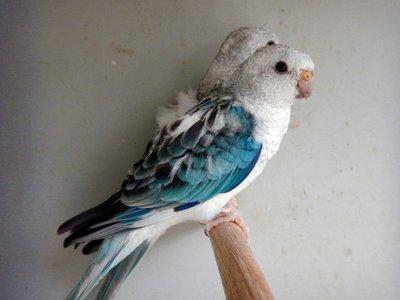 budgie_parrots.jpg