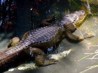 croc_Alison.jpg