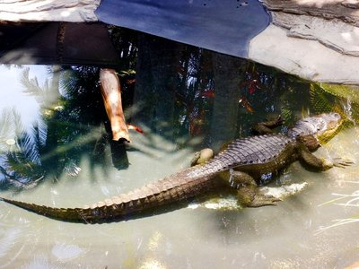 croc_Alison1.jpg
