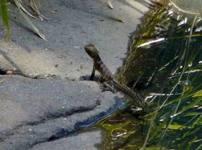 croc_Annie_lizard.jpg
