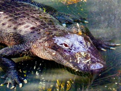 croc_with_evil_eye.jpg