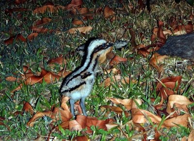 curlew_chick.jpg