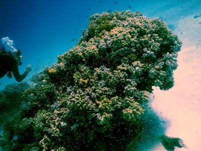diver___coral.jpg