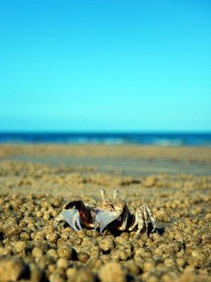 ghost_crab_on_beach.jpg