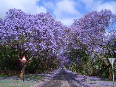 jacarandas-walk-sa.jpg