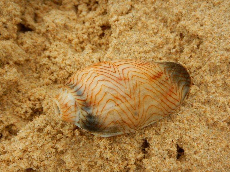Amoria Unulata