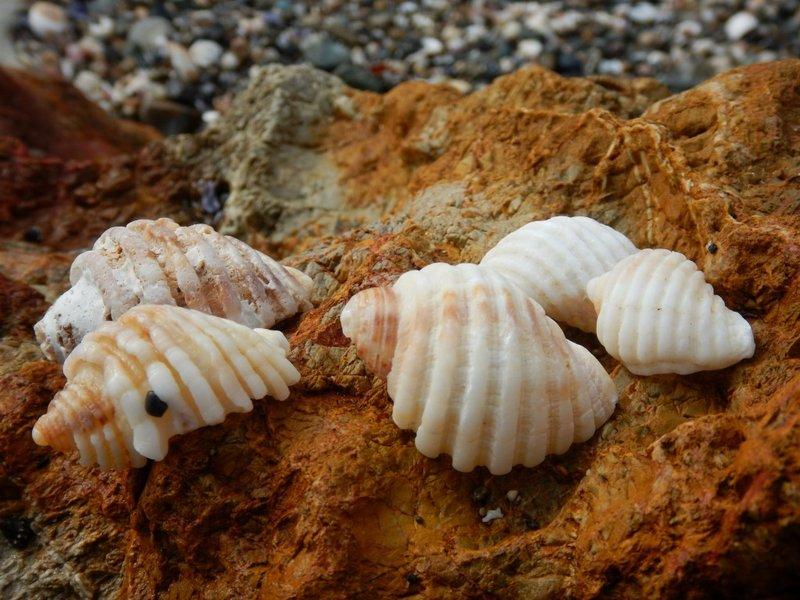 Cart Rut Shells