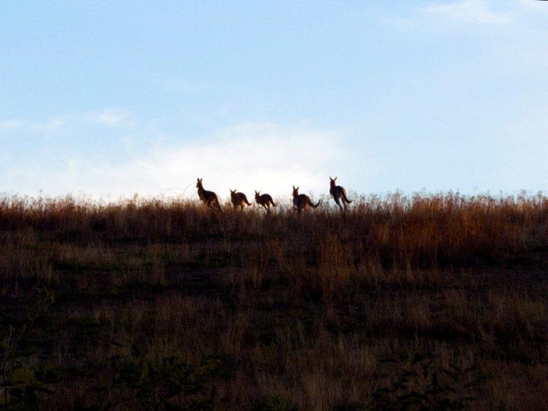 Kangaroos Horizon