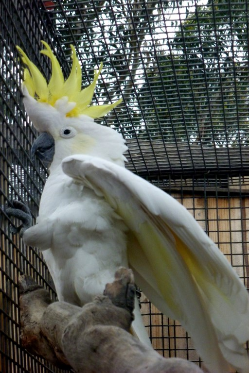 Sulpher-Crested Cockatoo