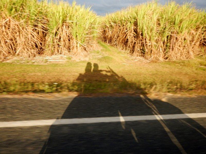 sugar cane shadow