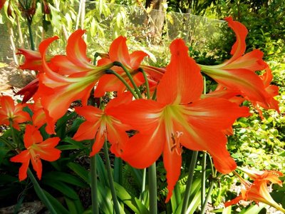 lilies1.jpg