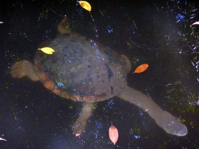 long_neck_turtle.jpg