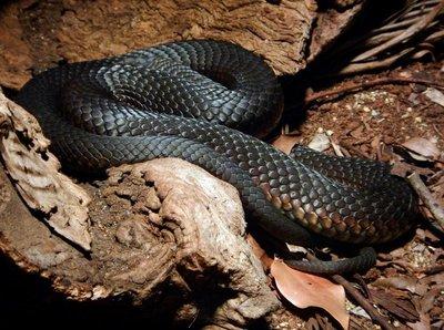 lowlands_copperhead_snake.jpg
