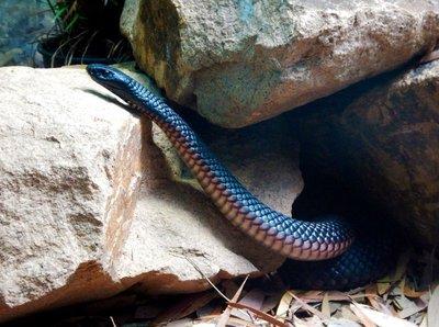 red-bellied_black_snake.jpg