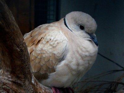 ring_neck_dove.jpg