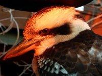 Kookaburra7