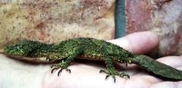 Leaf-tailed Gecko7