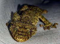 Leaf-tailed gecko2