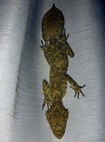Leaf-tailed gecko5
