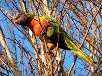Rosella in tree