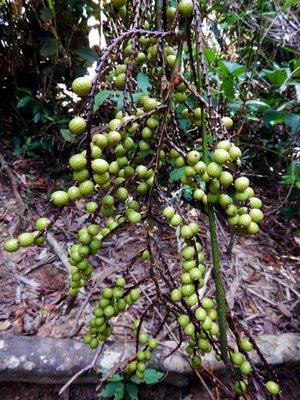 tree_grapes.jpg