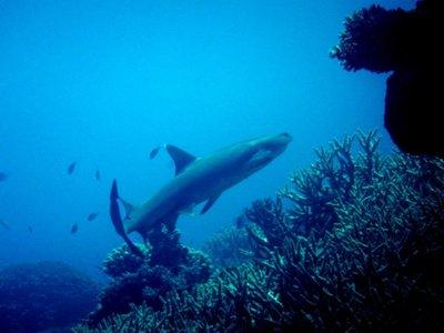 white_tip_reef_shark1.jpg