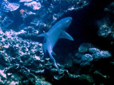 white_tip_reef_shark2.jpg