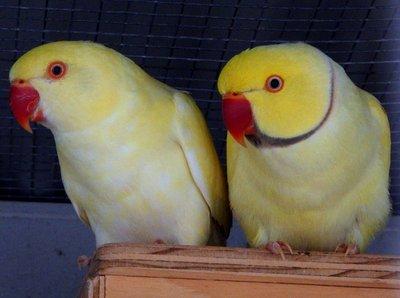 yellow_dove.jpg